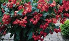 Dragon-Wing-Begonia